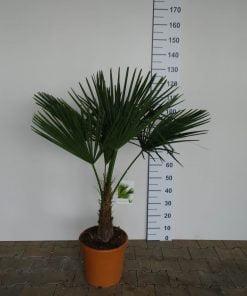 Trachycarpus Fortunei 15-20 cm