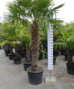 Trachycarpus Fortunei 160-170 cm