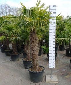 Trachycarpus Fortunei 120-130 cm