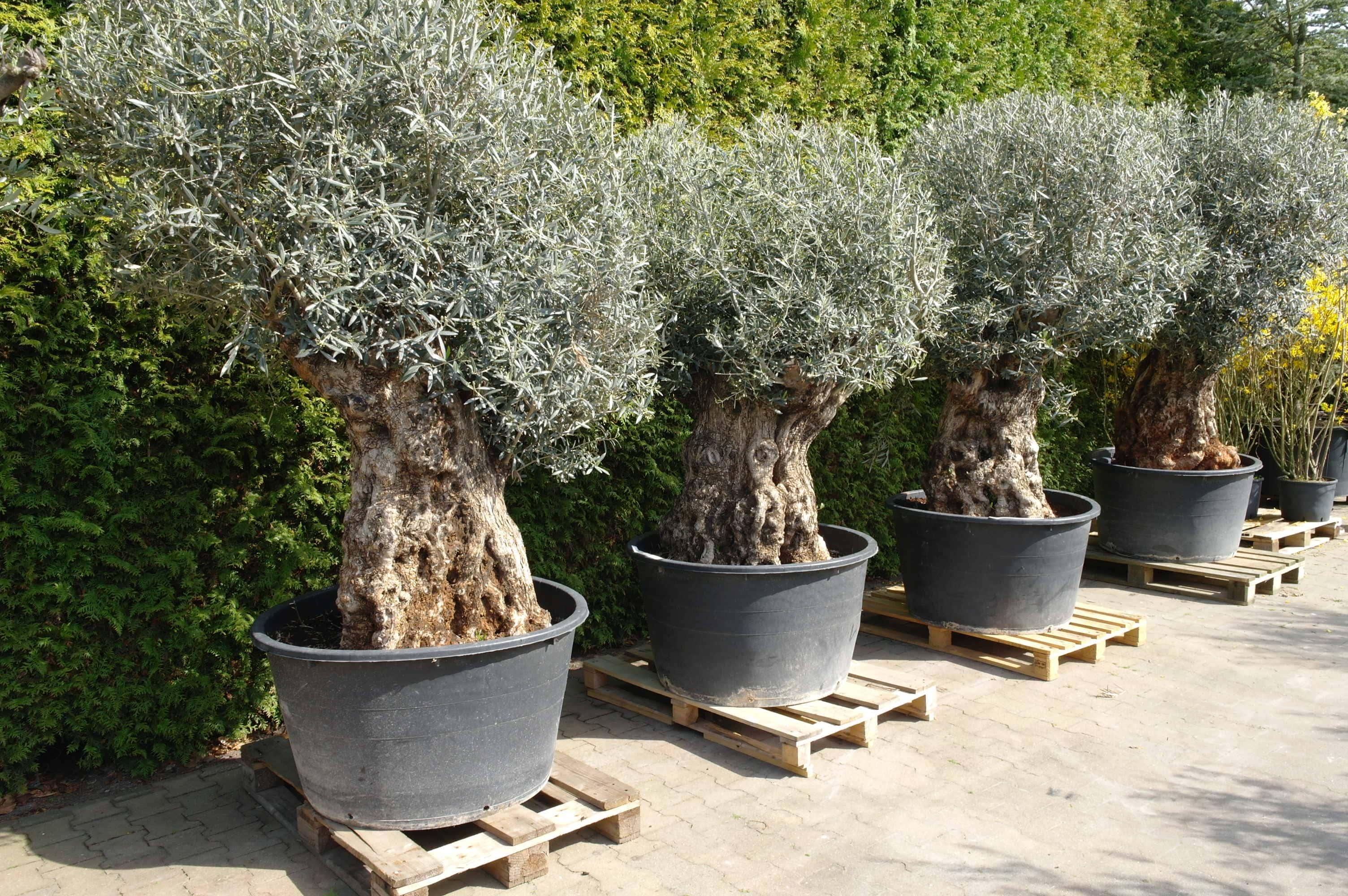 Olijfboom Olea Europea Bonsai Extra 120 140 Cm Goedkopeolijfbomen Nl