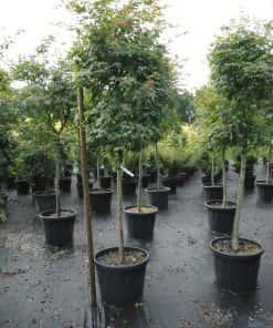 acer palmatum beni -maiko