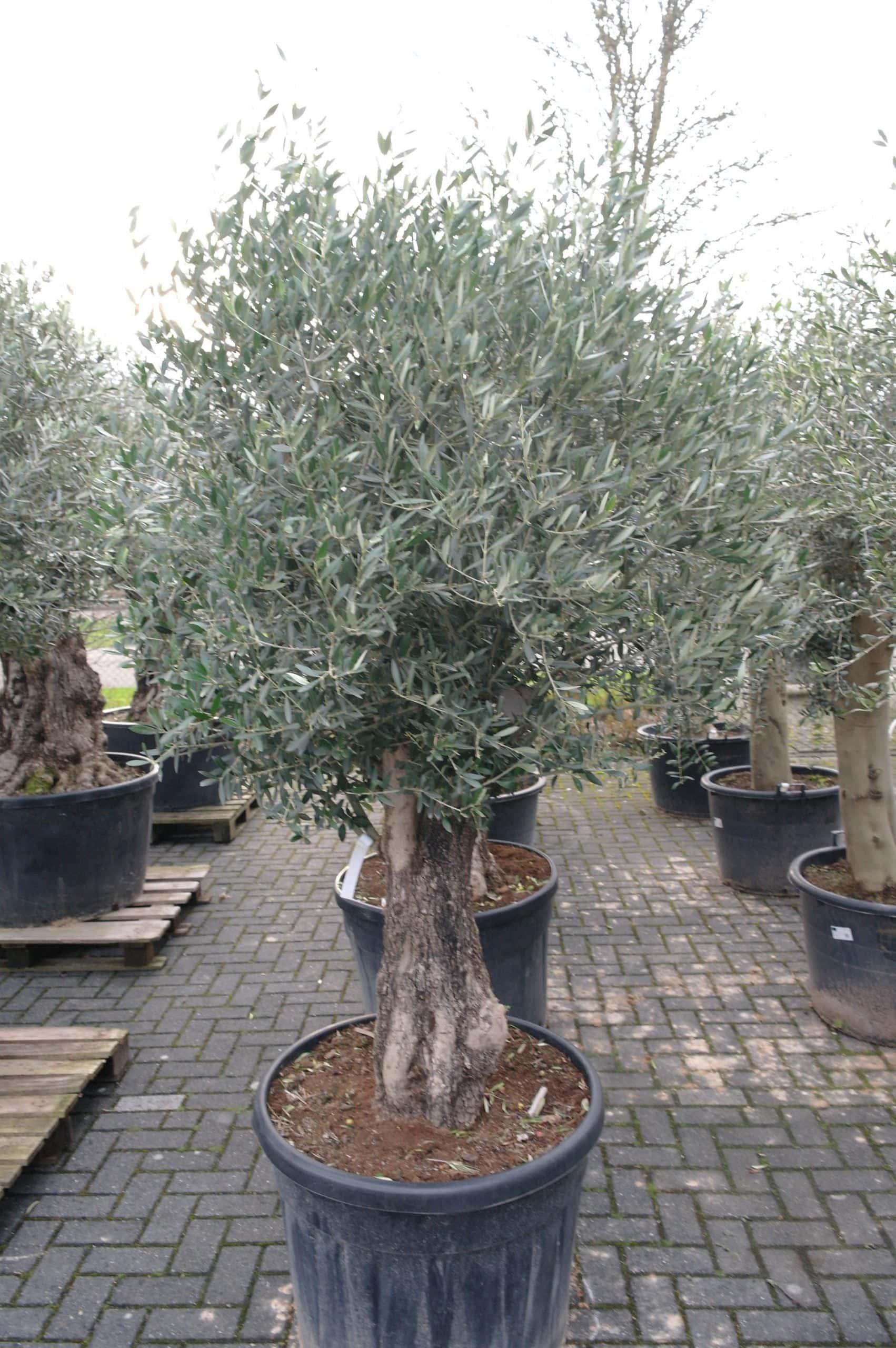 Olijfboom Olea Europea Bonsai Pocket 80 100 Cm Goedkopeolijfbomen Nl