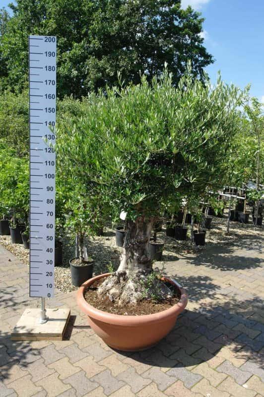 Verzorgen van olijfbomen in Nederland.